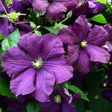 Клематис Etoile Violette (саженец)