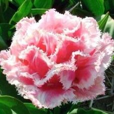 Тюльпан Queensland (луковицы)