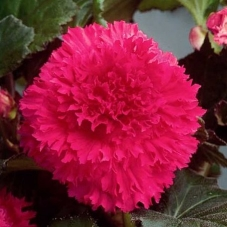 Бегония бахромчатая розовая (клубень)
