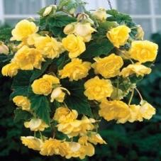Бегония Pendula Cascade желтая (клубень)
