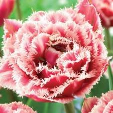 Тюльпан Brest (луковицы)