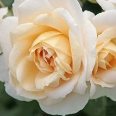 Роза Lions Rose  (саженец)