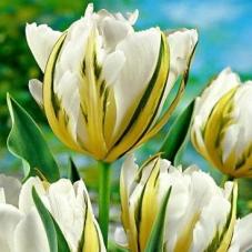 Тюльпан Exotic Emperor (1 шт)