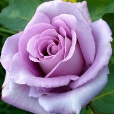 Роза Blue Moon (саженец)