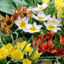 Тюльпаны Ботанические Микс