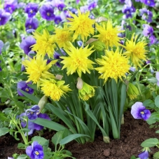 Нарцисс ботанический Rip van Winkle (луковицы)
