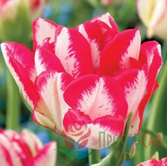 Тюльпан Cartouche (луковицы)