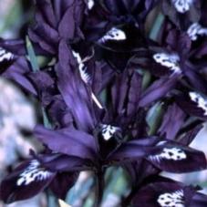 Ирис Reticulata Pauline (луковицы)