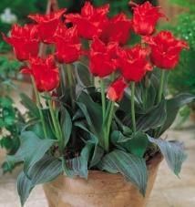 Тюльпан Red Riding Hood (луковицы)