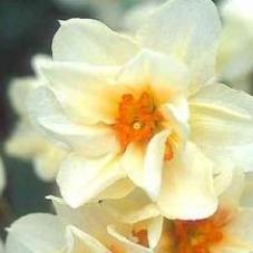 Нарцисc Mary Copeland (луковицы)