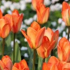 Тюльпан Orange Emperor (луковицы)