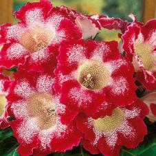 Глоксиния Tigrina Red