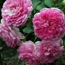 Роза Jasmina  (саженец)