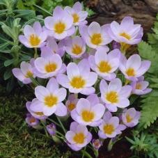 Крокус ботанический Firefly