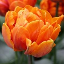 Тюльпан Orca (луковицы)