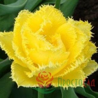 Тюльпан Exotic Sun (луковицы)