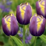 тюльпан арабиан бьюти фото