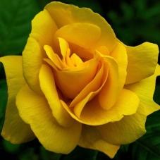 Роза Landora (саженец)