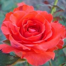 Роза Angelique (саженец)
