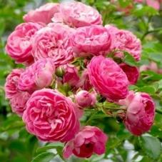 Роза Chaplinz Pink  (саженец)