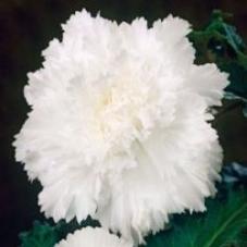 Бегония бахромчатая белая (клубень)