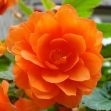 Бегония махровая оранжевая (клубень)