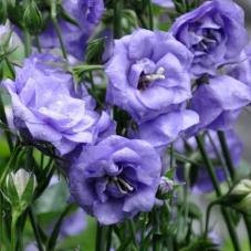 Колокольчик (Кампанула) махровый La Belle Blue