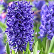 Гиацинт Bleu Jacket (луковицы)