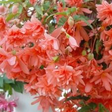 Бегония Cascade оранжевая (клубень)
