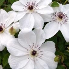 Клематис White Pearl (саженец)