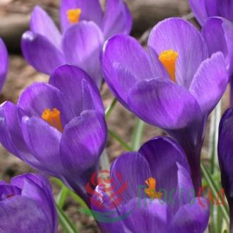 Крокус Flower Record (луковицы)