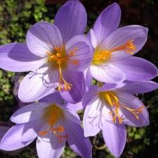 Крокус ботанический Speciosus