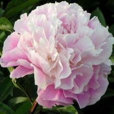 Пион Lady Alexandra Duff (корневище)