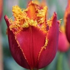 Тюльпан Fabio (луковицы)