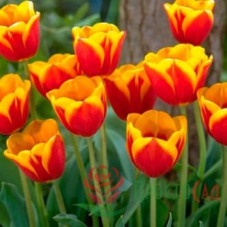 Тюльпан Flair (1 шт)
