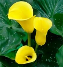 Калла Florex Gold (клубень)