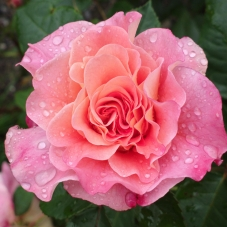 Роза Augusta Luise (саженец)