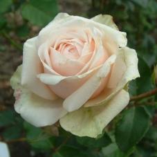 Роза Frederic Chopin (саженец)