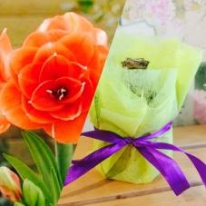 Амариллис в горшке Benito (c цветоносом)