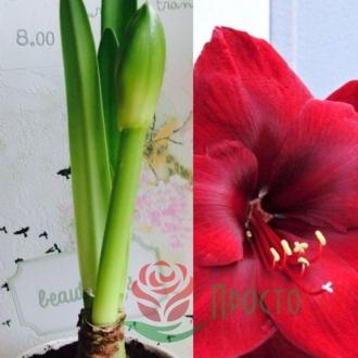 Амариллис в горшке Carmen (c цветоносом)