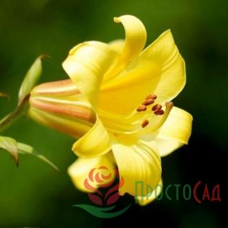 Лилия Yellow Planet (луковицы)