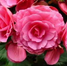 Бегония махровая розовая (клубень)