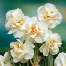 Нарцисc Bridal Crown (луковицы)