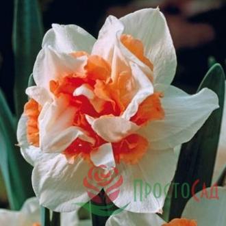 Нарцисc Replete (луковицы)