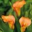 Калла Orania (клубень)