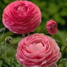 Лютик (ранункулюс) розовый