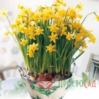 Нарцисс ботанический Tete a Tete (луковицы)