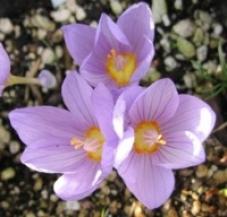 Крокус kotschyanus (луковицы)