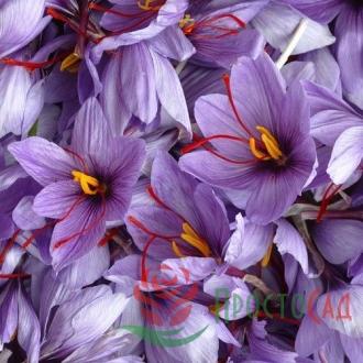 Крокус крупноцветковый Sativus (шафран)