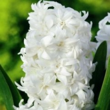 Гиацинт махровый Snow Christal (луковицы)